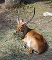 Nyíregyháza Zoo, antilop-2.jpg