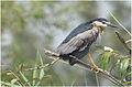 Nycticorax nycticorax at abbassa by Hatem Moushir 3.jpg