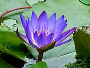 Nymphaea King of the Blues 0801.jpg