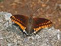 Nymphalidae - Charaxes jasius.JPG