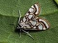 Nymphula nitidulata - Beautiful china-mark - Водная огнёвка прудовая (39924703275).jpg