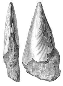 Nyst 1878 - Atrina pectinata.jpg