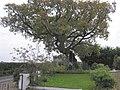 Oak tree at Glenarney School - geograph.org.uk - 264051.jpg