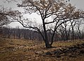 Oak trees that where severely damaged in a wildfire that occurred three weeks earlier. (24481037434).jpg
