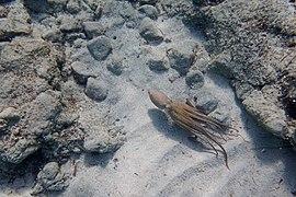 Octopus (28836592458).jpg