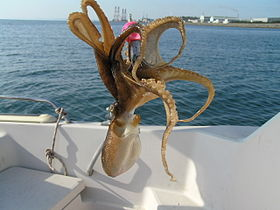 Octopus ocellatus (catch).jpg