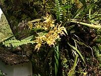 Odontoglossum praestans (3)