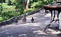 Ogród Botaniczny - spacerująca kacza rodzina fot BMaliszewska.jpg
