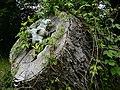 Old pecan tree.jpg