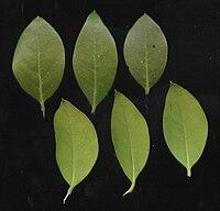 Olea capensis03