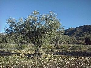Olivo centenario ecológico en la Sierra de Salinas, Yecla (Murcia).jpg