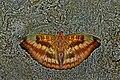 Open wing position of Euthalia alpheda Godart, 1824 – Streaked Baron (Male) WLB DSC 0806.jpg