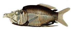 Opisthoproctus grimaldii.jpg