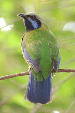 Orange-Bellied Leafbird Chloropsis hardwickii National Aviary 800px.jpg