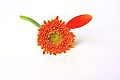 Orange Gerber Daisy With Lonely Single Petal (3332888671).jpg