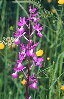Orchis laxiflora2.jpg