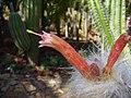 Oreocereus celsianus 01.jpg