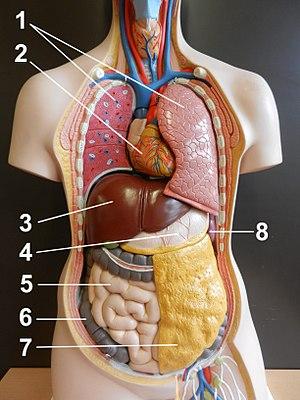 Frau organe körper innere Gewebe und