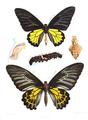 Ornithoptera minos 419.png
