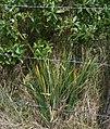 Orthrosanthus chimboracensis 2.jpg
