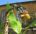 Orto botanico, fi, fior di banano.JPG