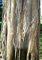 Osage Orange (Maclura pomifera) bark detail.jpg