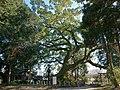 Oshitori Shrine camphor tree in Kanzaki.jpg