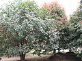 Osmanthus fragrans(Thunb.)Lour..JPG