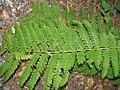 Osmunda claytoniana 5zz.jpg