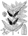 Osmunda claytoniana BB-1913.png
