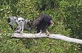 Osprey & Turkey Vulture Interaction (16145036889).jpg