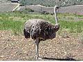 Ostrich female RWD.jpg