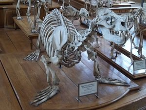South American sea lion - Skeleton of a male South American sea lion