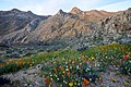 Owens Peak Wilderness wildflowers 2017.jpg