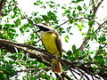 Pássaro amarelo.JPG