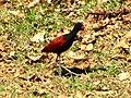 Pássaro em Ivoti 002.jpg