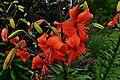 PASHLEY MANOR GARDEN Day lily 1.JPG