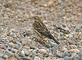 PIPIT, RED-THROATED (9-9-08) Gambell, Ak -1 (2844651894).jpg