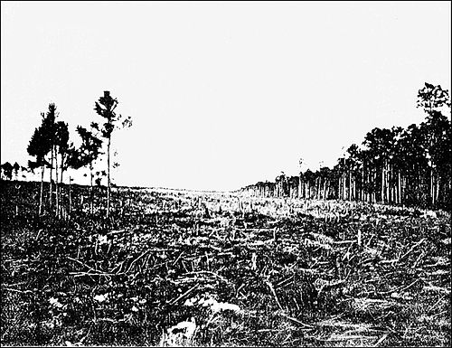 PSM V38 D631 Clearing the pine yard for sisal near nassau n p.jpg