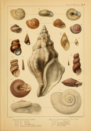 William Hellier Baily - An example of a plate with gastropod shells by William Hellier Baily.