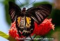 Pa Southern Birdwing 18 January 2008 Z (2206341910).jpg