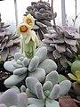 Pachyphytum oviferum in flower (4508513591).jpg