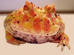 Pacman frog.jpg