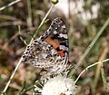 Painted Lady Cynthia cardui 6 (3822021213).jpg