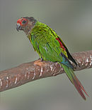 A green parrot with a brown head and a red forehead