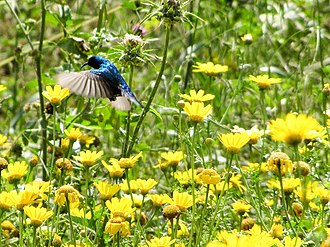 Palestine sunbird - A male hovering.