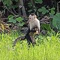 Panamanian white-faced capuchin (Cebus imitator).jpg