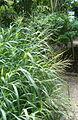 Panicum maximum BotGardBln07122011D.jpg