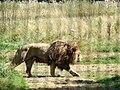Panthera leo bleyenberghi Parc des félins.JPG