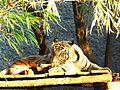 Panthera tigris tigris, White Tiger.jpg